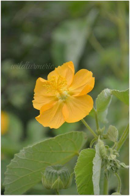 3 Top Medicinal Uses Of Thuthi Keerai Indian Mallow