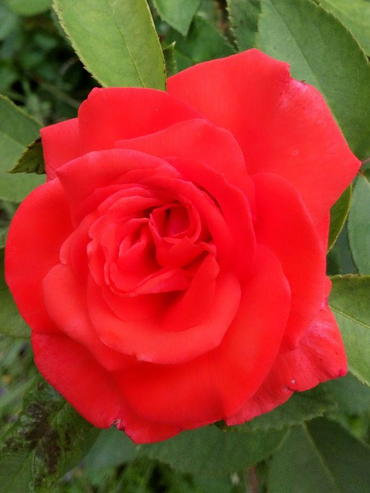Kvetoucí růže: Václav Kovalčík, Zlín | Růže a Rostliny