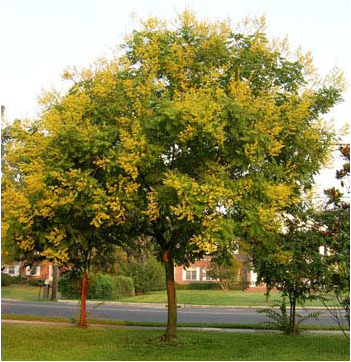 Golden Rain Tree Looking forward to adding one of these trees to