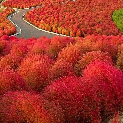 Burning Bush(Kochia Trichophylla) - Grown from Burning Bush seeds, this feathery bush is pale green in the summer, but then transforms to an intense red in the