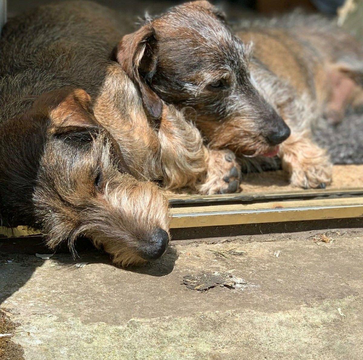 Dachshund Wirehaired Dog Breeds Dachshund Dogs