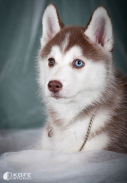 Husky Puppies I Love Two Different Colored Eyes Really Cute