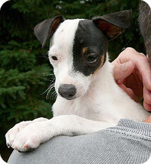 Seattle, WA Rat Terrier. Meet Mesquite a Puppy for