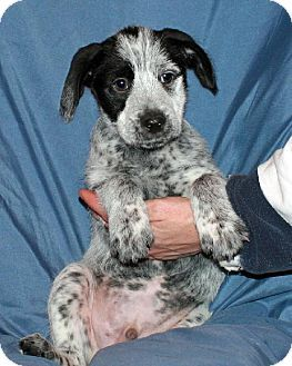 Little Compton Ri Beagle Australian Cattle Dog Mix Meet