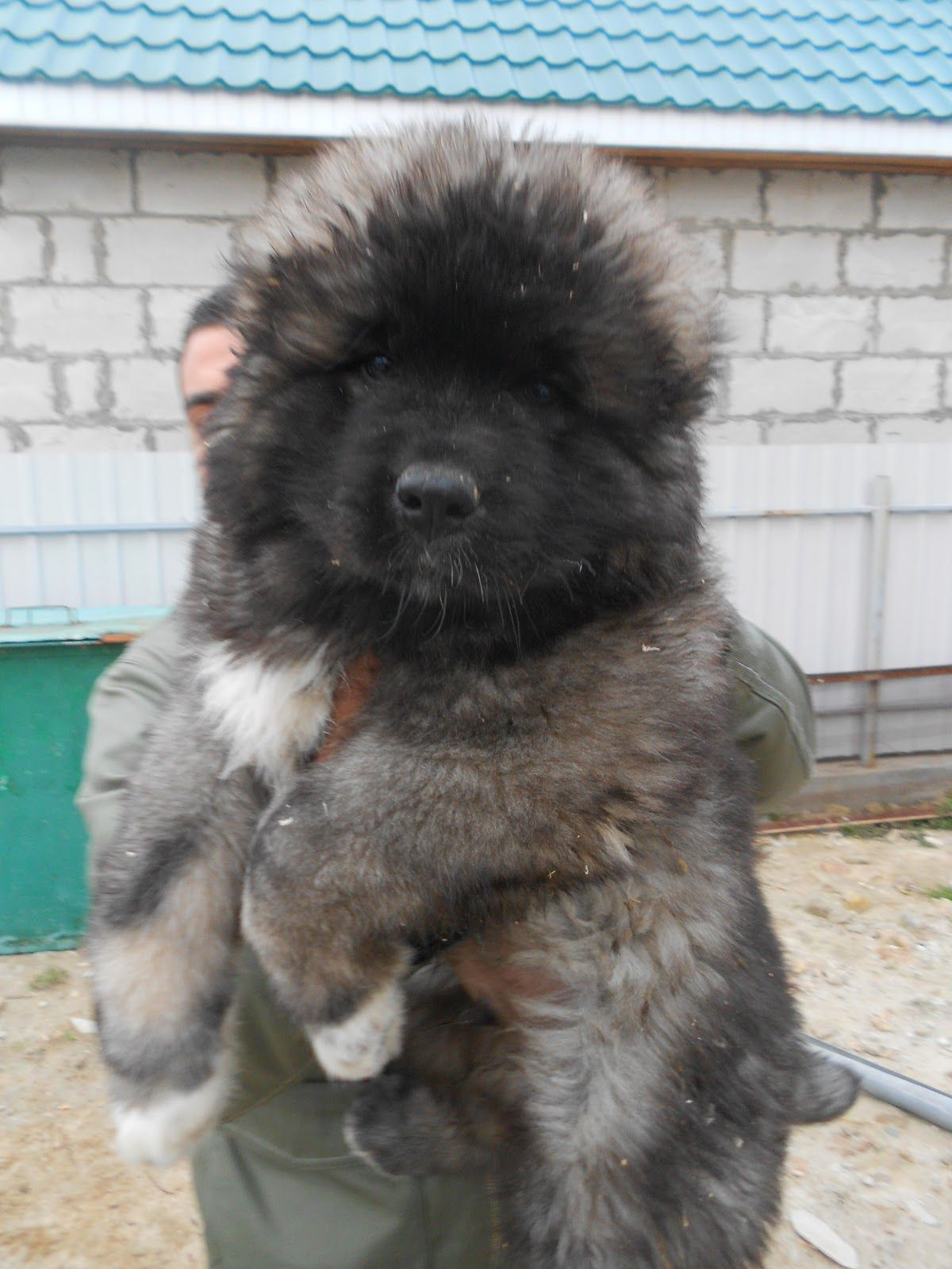 Simple Caucasian Ovcharka Chubby Adorable Dog - de8c341869dfa6c20c19b9a19eb1fc3d  Image_484150  .jpg