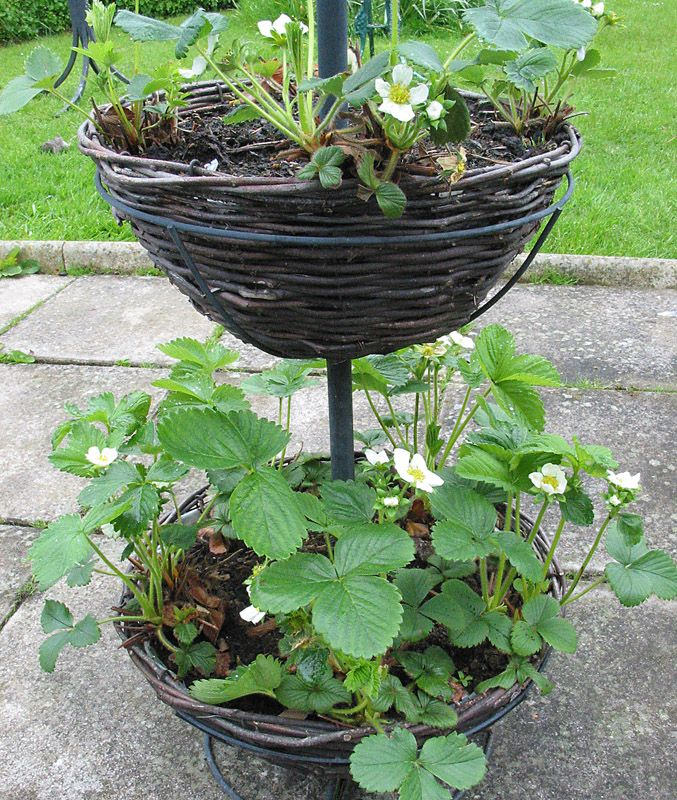 Growing Vegetables In Urban Planters: Growing Strawberries In Containers.