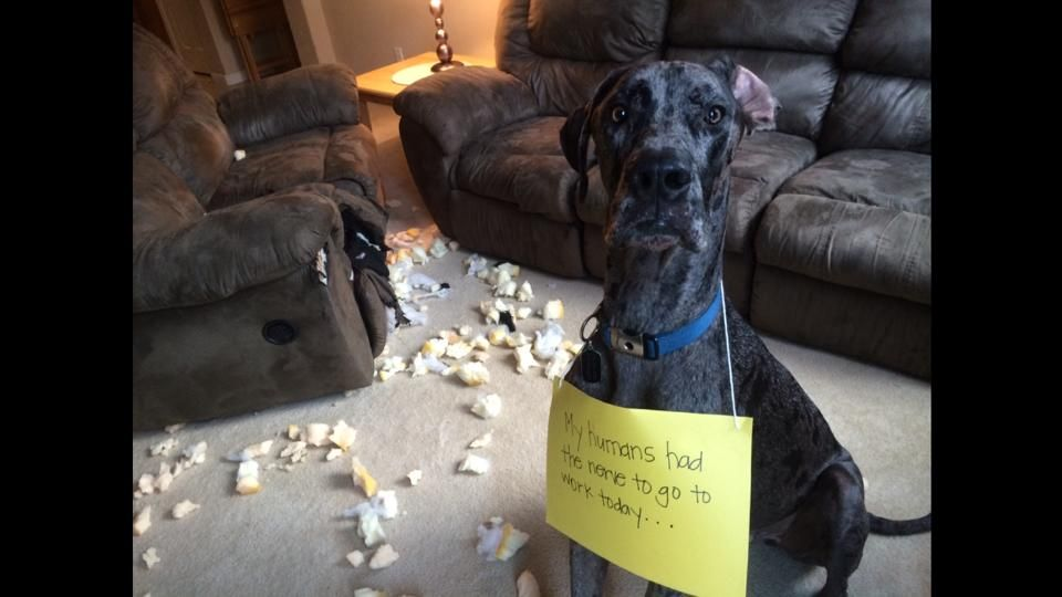 Great Danes are notorious for getting into trouble. In these twenty photos, their owners put signs on them to explain what mischief these cuties got into. Thanks to all the owners for submitting these pics to us to post! Share with your friends:
