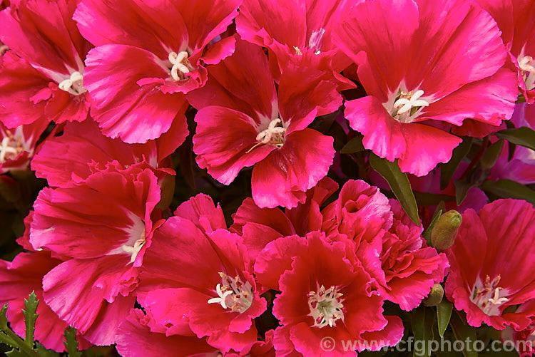 Pin On Clarkia Amoena Flowers Farewell To Spring