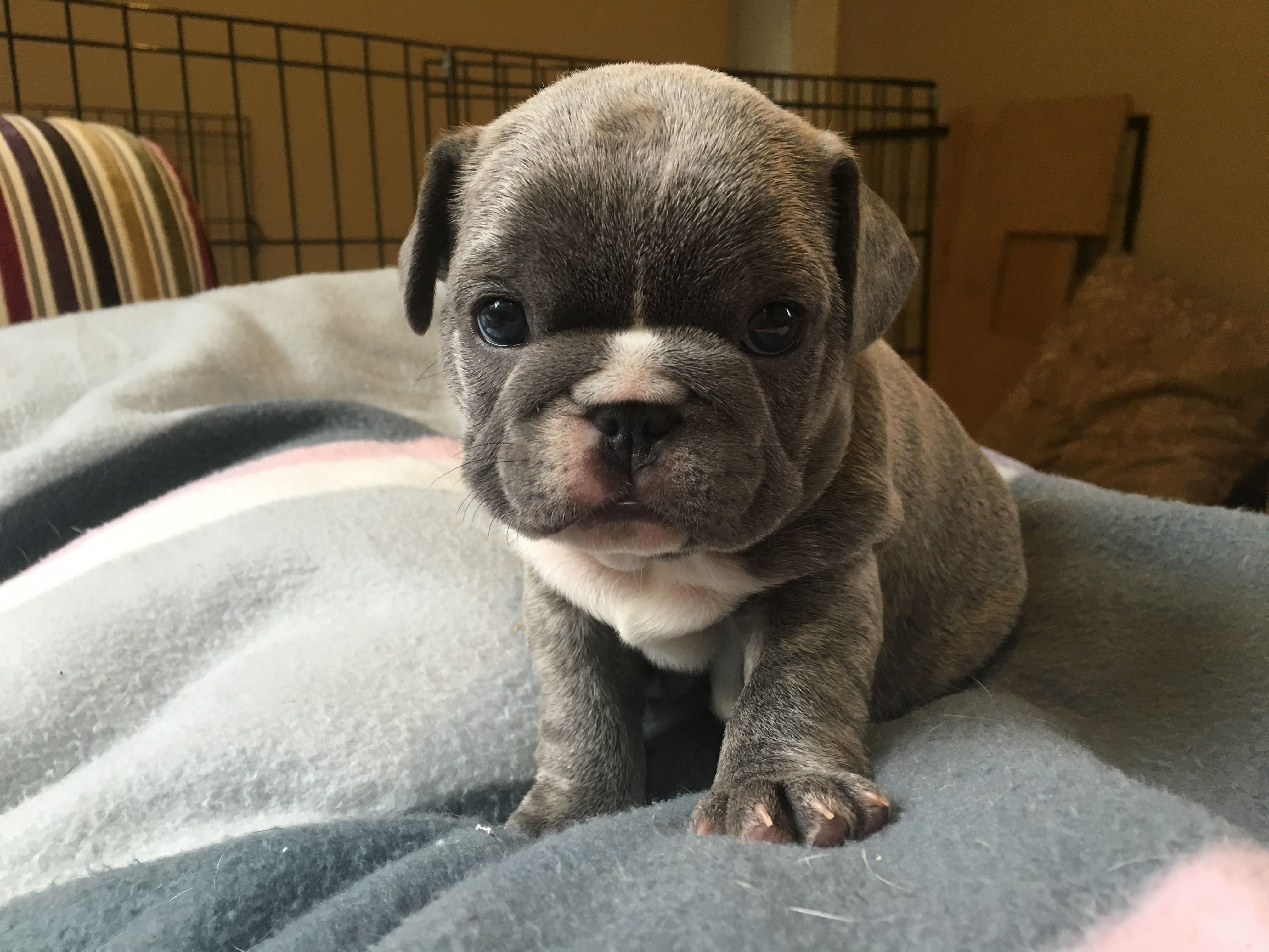 Blue Brindle French Bulldog Puppy Is The Cutest French Bulldog