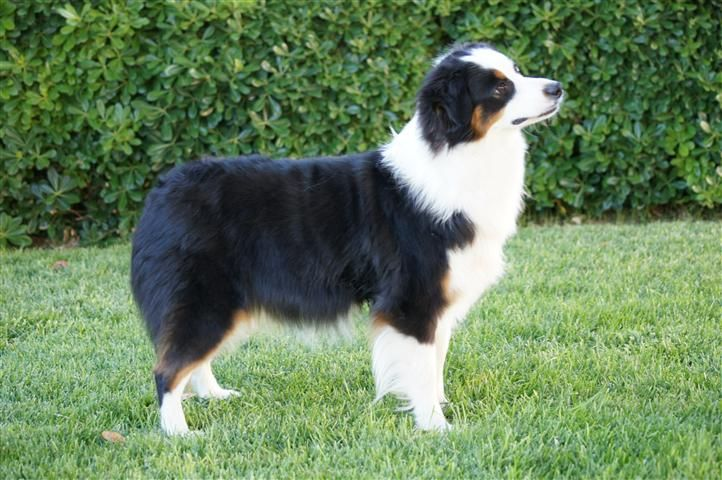 Australian Shepherd Black Tri Mercyme Mini Toy Aussies Mercyme Miniature Australian Aussie Puppies Aussie Puppies For Sale Puppies For Sale