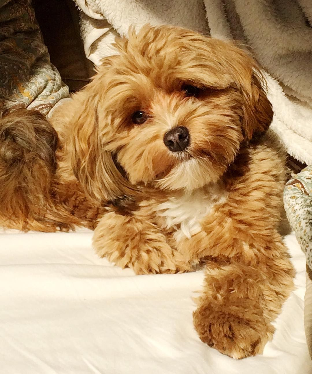 14 Dog Breeds That Are Perfect For Lazy Humans Havanese