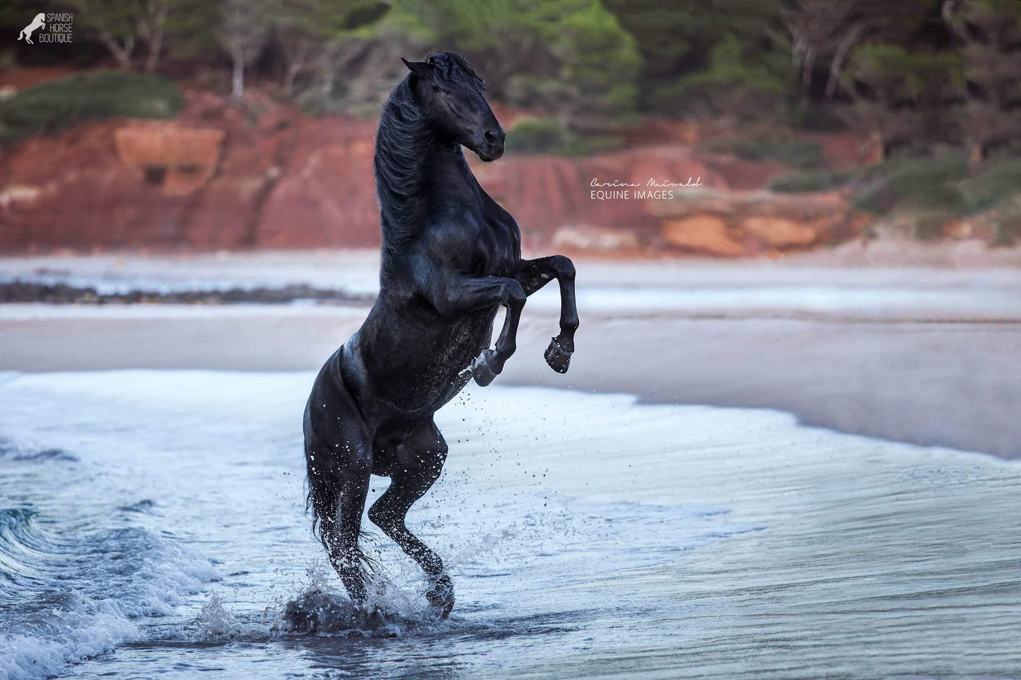 96 Carina Maiwald Photographer Photos Schone Pferde Schwarze Pferde Ausgestopftes Tier