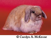 American Fuzzy Lop Rabbit Profile All About Rabbits
