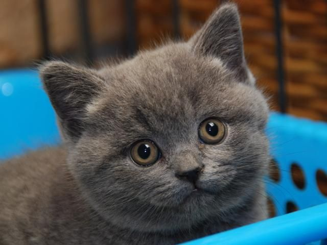 British Shorthair Kitten 9 Days And Counting Until We Get Ours British Shorthair British Blue Cat British Shorthair Kittens