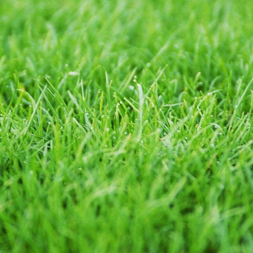 דשא דרבן גראס בת יבלית דרומית Tall Fescue Fescue Tall Fescue Grass