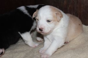 Dogzonline Border Collie Puppies For Sale Australia Pure Breed Dogs Collie Puppies For Sale Collie Puppies