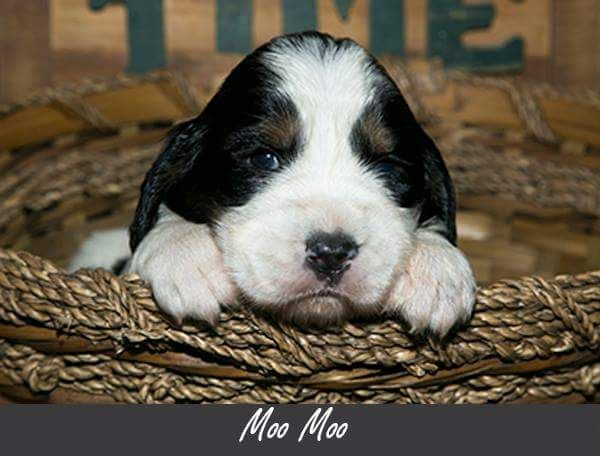 Litter of 8 English Springer Spaniel puppies for sale in