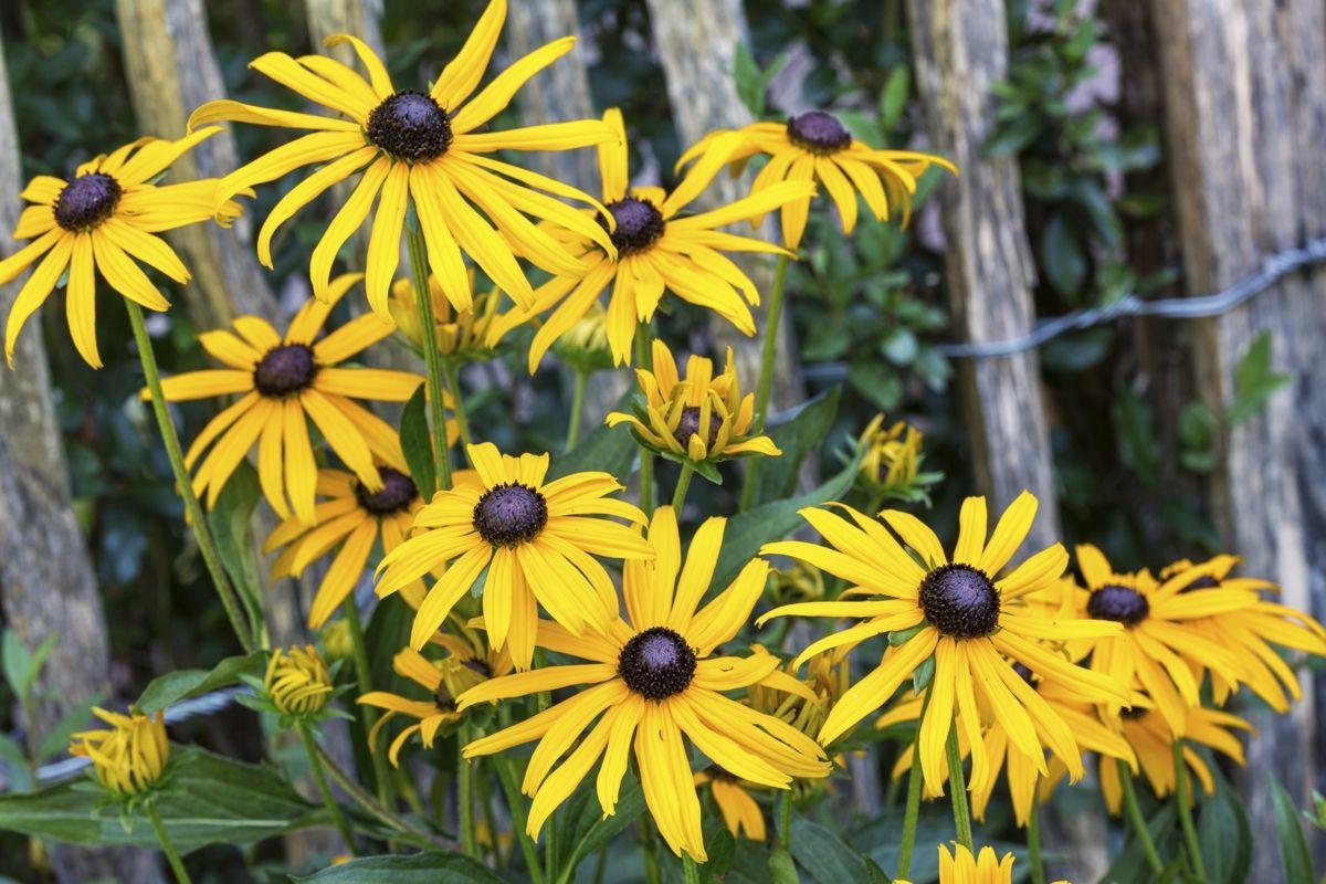 BlackEyed Susan (Rudbeckia) Flowers name list, Flower