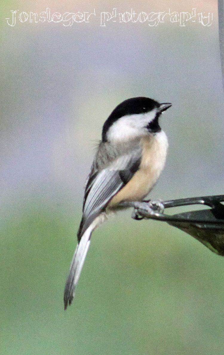 northern illinois birder year round birds in northern illinois