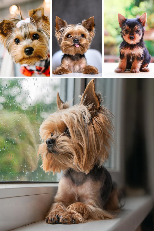 Terrier Puppies Yorkshire Terriers In 2020 Yorkshire Terrier Puppies Yorkshire Terrier Dog Puppy Dog Photos