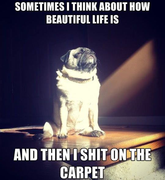 Enlightened Dog Pugs Funny Pictures Funny Animals