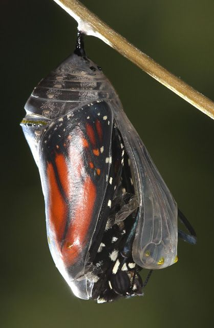 Monarch Butterfly Emerging From Chrysalis Schmetterling Raupe Wurm