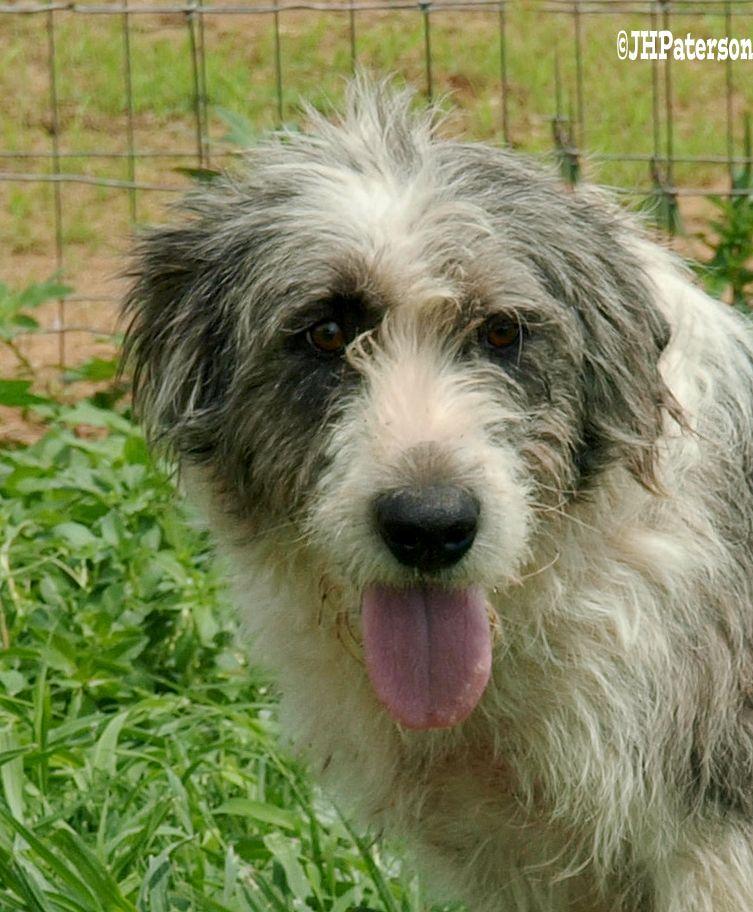 Old English Sheepdog dog for Adoption in Scottsdale, AZ