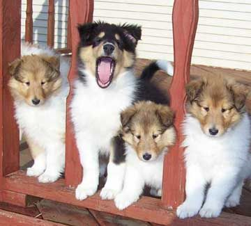 Always That One In Every Group Haha D Collie Puppies For