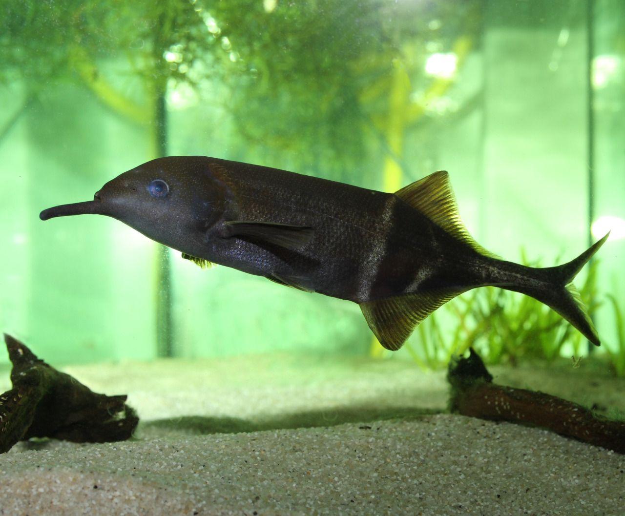 Freshwater fish looks like dolphin - Elephant Nosefish Peters Elephantnose Fish Is An African Freshwater Elephantfish In The Genus Gnathonemus