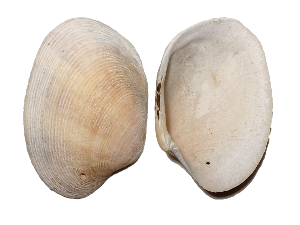 Veneridae - Bassina pachyphylla - Jonas 1839, Rodd Point, Iron Cove, Parramatta River, NSW (21.6g)