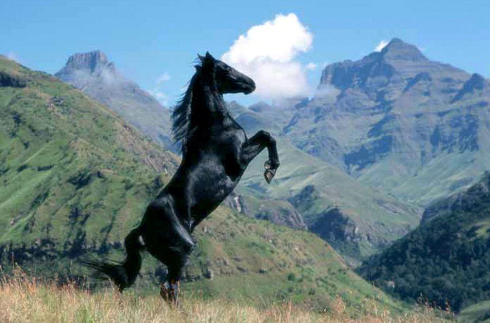 Wild Horses Black | ... alles begann The Young Black Stallion, Kinostart 27.05.2004, USA 2003