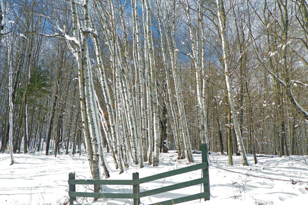 Farmington birches DE