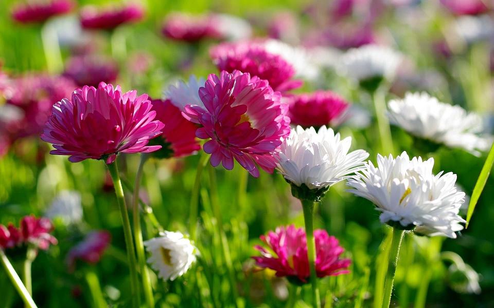 Chrysanthemum Flowers Image By Bhmpics Com Hd Flower Wallpaper Beautiful Flowers Wallpapers Spring Flowers Wallpaper