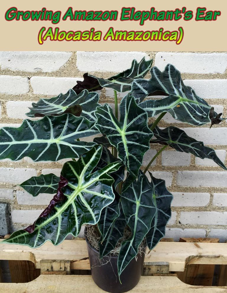 growing amazon elephant 39 s ear alocasia amazonica fun for me plants elephant ear plant. Black Bedroom Furniture Sets. Home Design Ideas