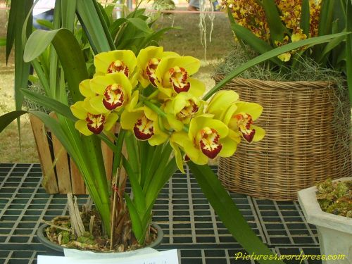 Yellow Cymbidium Orchid Flower Picture Cymbidium Orchids Fruit Plants Trees To Plant
