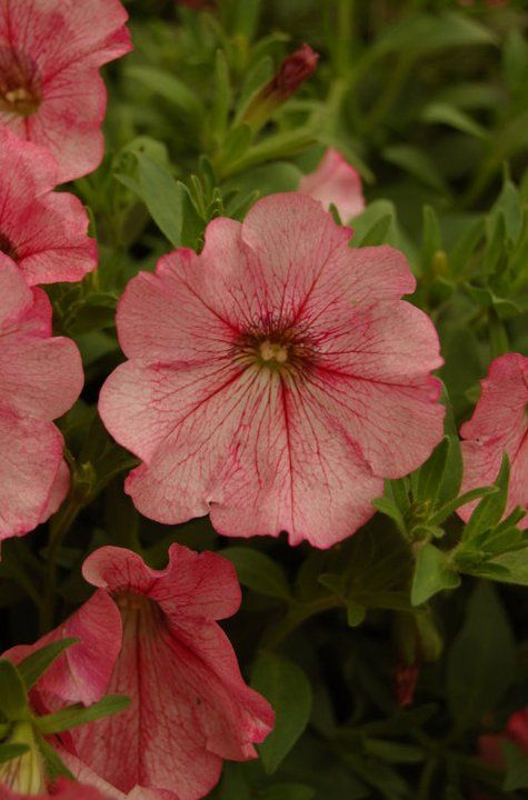 Petunia Panache Pink Provocateur Petunia Flower Beautiful Flowers Petunias