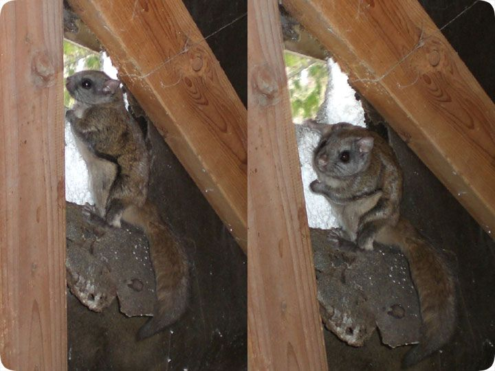 Flying Squirrel Removal How Do You Get Rid Of Flying Squirrels In The Attic Flying Squirrel Squirrel Get Rid Of Flies