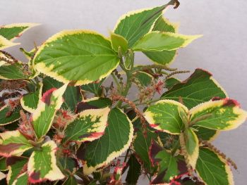 Acalypha Marginata Green Plants I Love Plant Leaves Plants Green