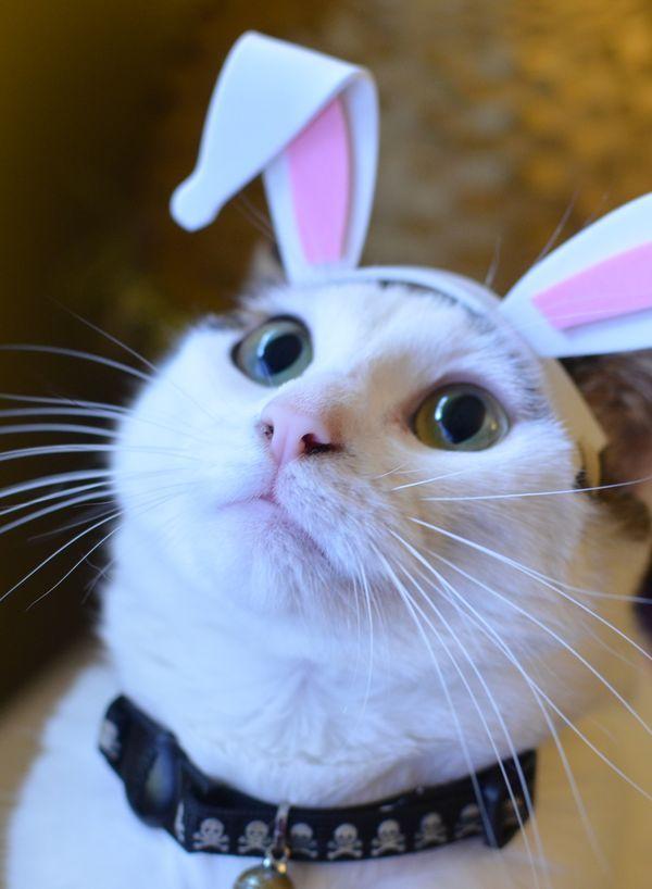 Diy Adorable Bunny Ear Costume Tutorial For Your Small Pet Diy Bunny Ears Bunny Ear Costume Pet Bunny