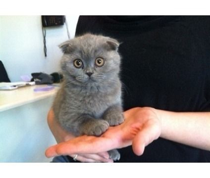 Hgchdfgdvbdt Lovely Scottish Fold Kittens For Sale Is A Male Scottish Fold Young For Sale In Eugene Or Scottish Fold Kittens Munchkin Kitten Cat Scottish Fold