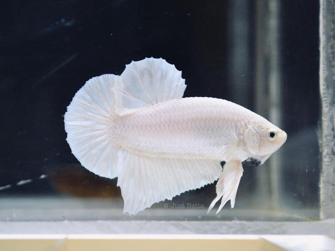 How Much Betta Fish Cost Philippines