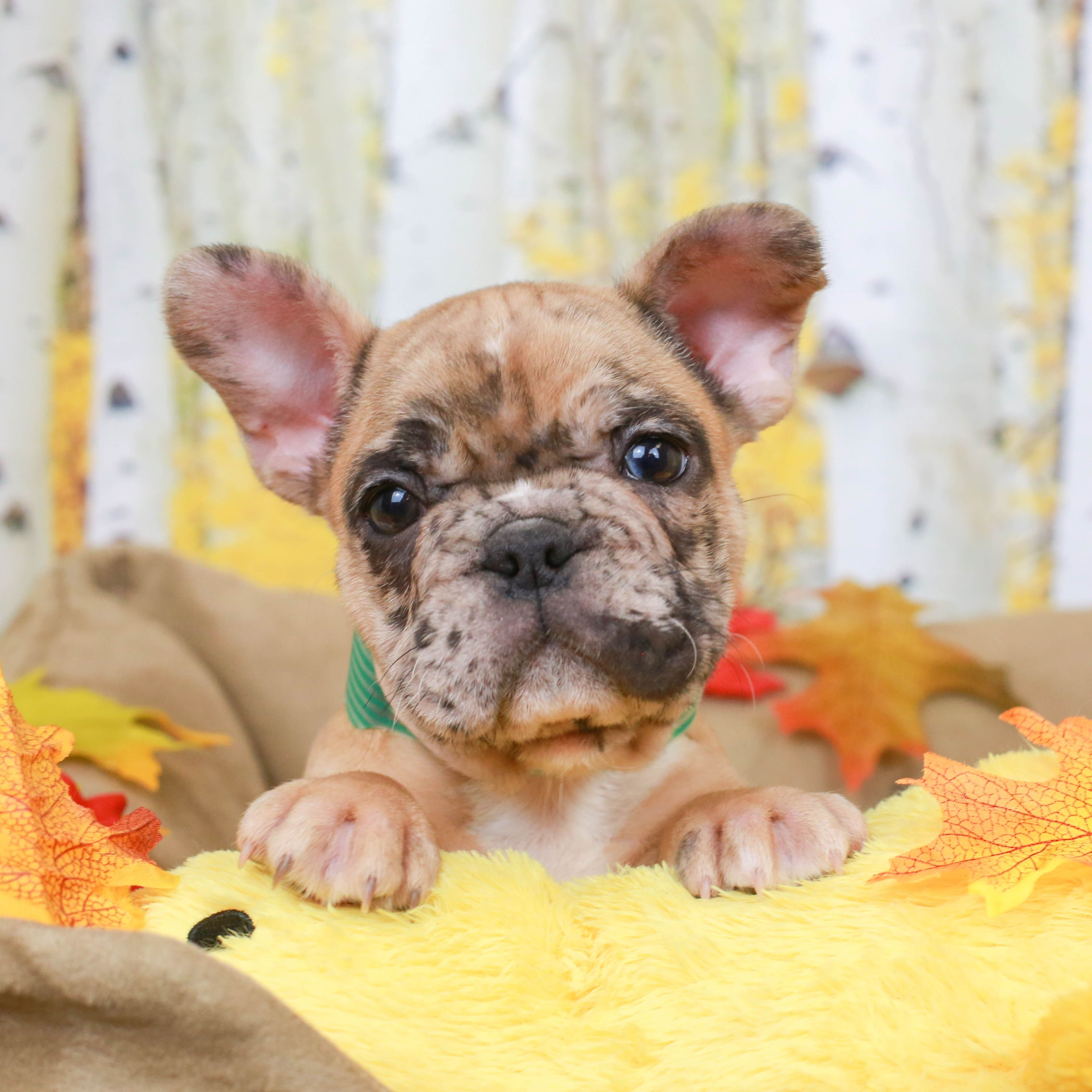 French Bulldog Puppies For Sale French Bulldog Puppies