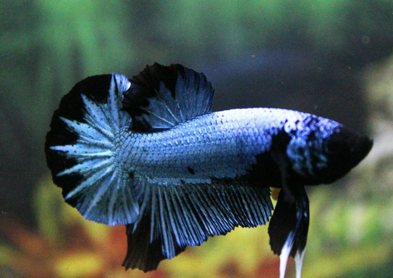 Pin By Just Cichlids On Fish In 2020 Betta Fish Betta Siamese Fighting Fish