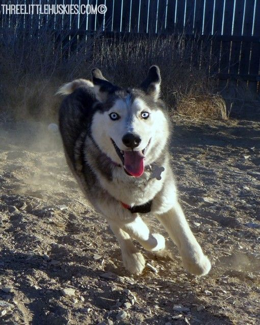 Read All About Nanuq A Siberian Husky Who Is Up For Adoption