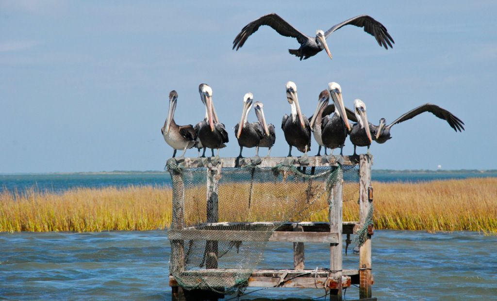 Brown Pelican Party Base