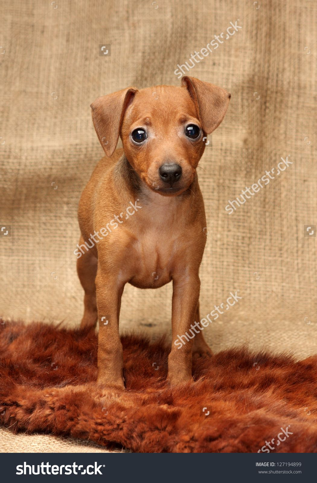 Brown Miniature Pinscher Puppies More Info About Pet Dogs Could