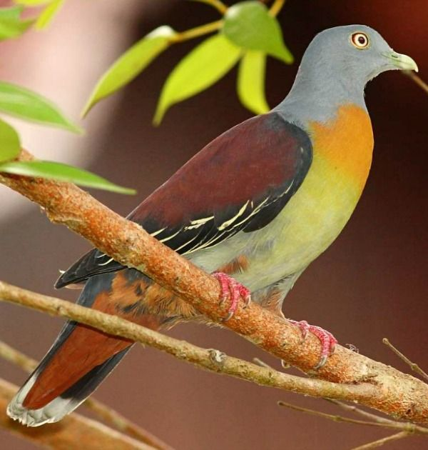 Little Green Pigeon (Treron olax). A species of bird found in the tropical lowland forests of Indonesia, Malaysia, Singapore, and Thailand. photo: Markus Lilje.
