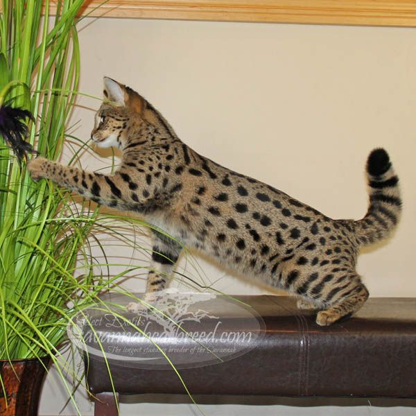 F1 Savannah Kittens For Sale - Select Exotics | Animals