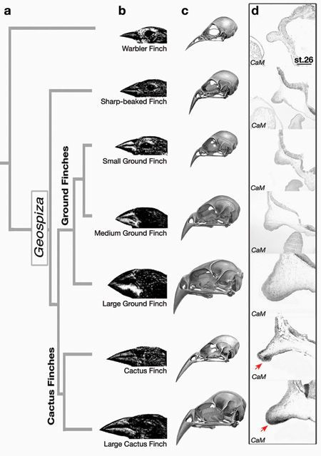 How Darwin's finches got their beaks