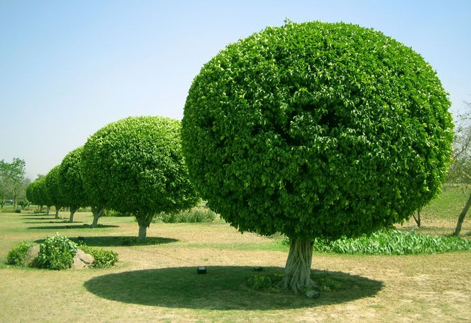 These are the trees in the garden of the lotus temple for Garden law trees
